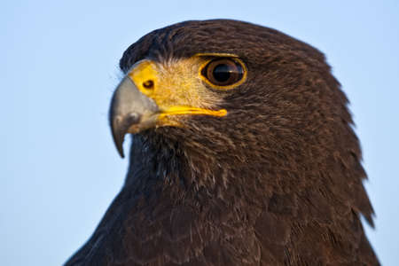 A beautiful Harris Hawk or Parabuteo Unicinctus, also known as the Bay-Winged Hawk or Dusky Hawk. photo