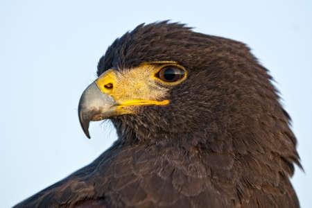 A beautiful Harris Hawk or Parabuteo Unicinctus, also known as the Bay-Winged Hawk or Dusky Hawk. photo
