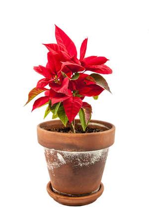 christmas flower: Ponsietta or Christmas Flower over white backdrop