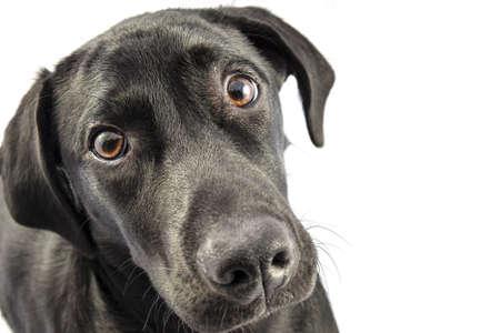 白地に黒のラブラドール子犬 写真素材
