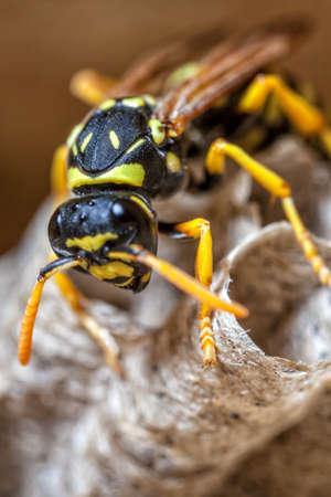 若い紙スズメバチの女王は、新しい植民地を開始するために巣を構築します。
