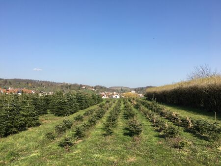 Small and medium-sized Christmas trees grow in a plantation in Esslingen in Southern Germany.