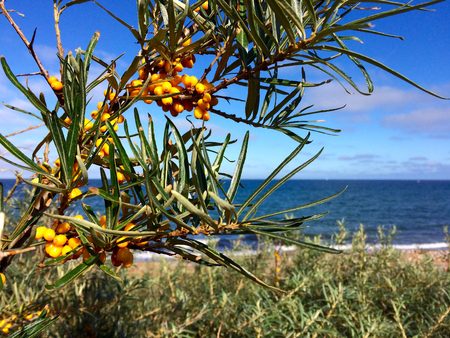 In the foreground is a sea-buckthorn branch with many, yellow fruits. In the background you can see the dunes and then the deep blue sea and sky. Banco de Imagens