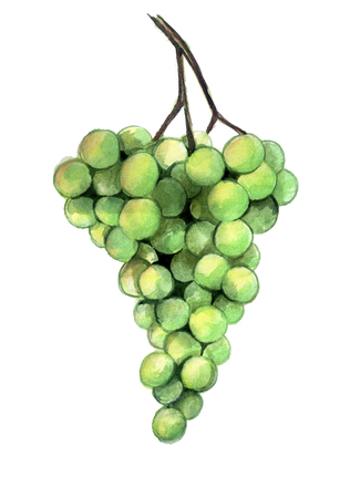 watercolor sketch: branch of green grapes on a white background