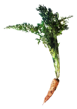 watercolor sketch: a carrot on a white background Stock Photo