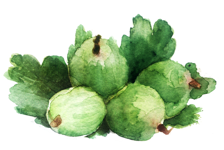 watercolor sketch of gooseberry on a white background