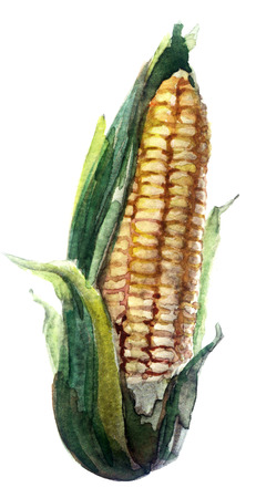 sweetcorn: watercolor corn on a white background