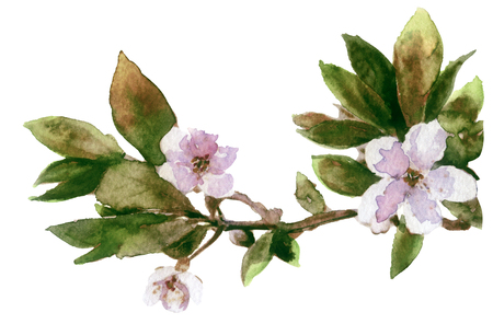 watercolor  spring cherry blossoms Stock Photo