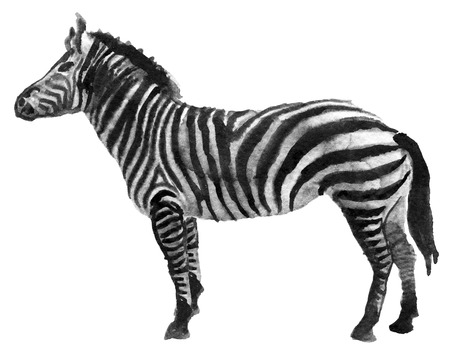 watercolor sketch of zebra on a white background Stock Photo