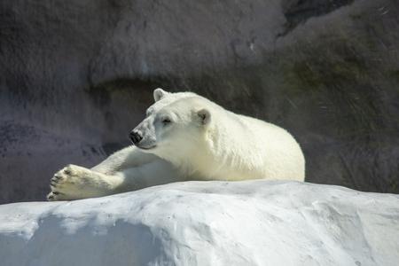 white bear on a white rock