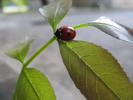 septempunctata: Ladybug in the leaf