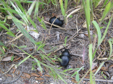 Two black bugs in the grass on the ground