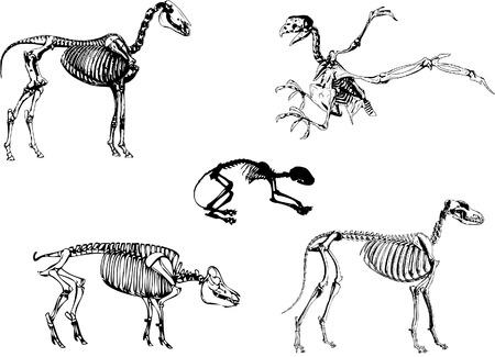 medical study: Animali domestici scheletro Vettoriali