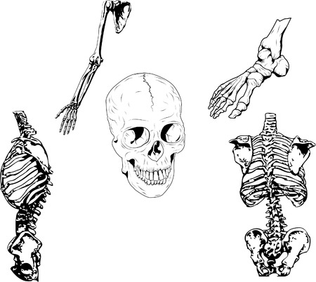 bones of the foot: Set of vector illustration. 5 different parts of a skeleton. File in 8 for easy modification.