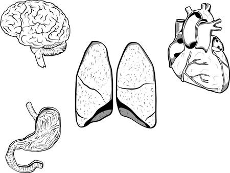 medicina interna: Vector ilustraci�n de un cerebro, coraz�n, est�mago y los pulmones. Cada �rgano en una capa separada en formato EPS 8.