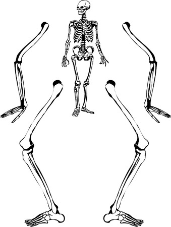 foot bones: Sketch like illustration of a human skeleton. Vector 8. Illustration