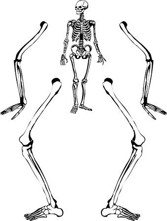 skelett mensch: Skizzieren Sie wie in Abbildung eines menschlichen Skeletts. Vektor 8.  Illustration