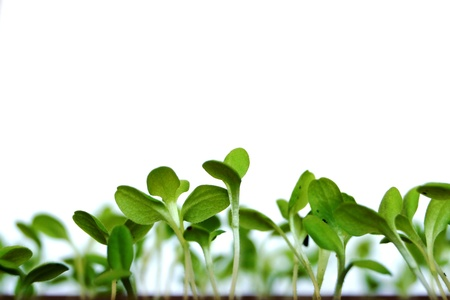 escapes: Young green shoots of a plant of salad in a kitchen garden on a white background