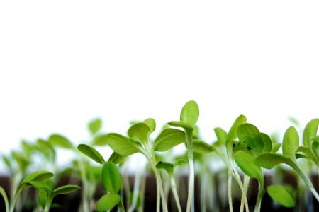 若い緑、白い背景に家庭菜園のサラダの植物の芽します。