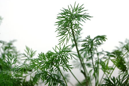 Young shoots of green fennel on the earth in a garden photo