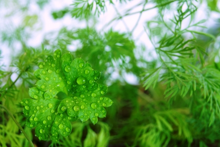 Young shoots of green parsley and fennel on the earth in a garden photo
