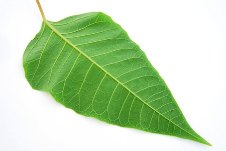 tip of the leaf: Green leaf, the reverse side, isolated on a white background Stock Photo