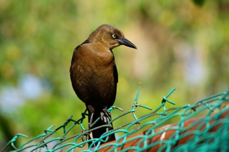 The dark bird with the turned head sat down on a fence and looks aside photo