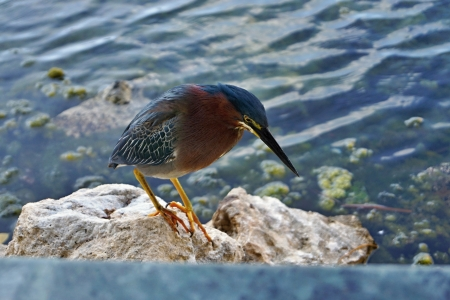 The bird with a long beak sat down on a stone and looks down photo