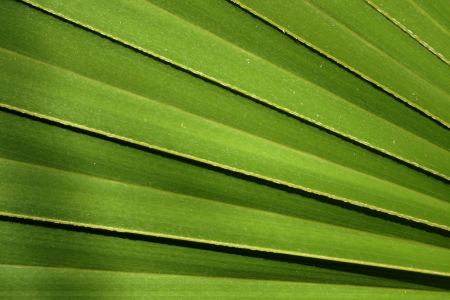 Big green striped leaf from a palm tree photo