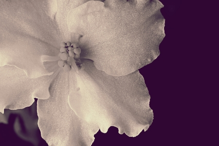 blackandwhite: Silvery flower closeup on a violet background for design of a gift card Stock Photo