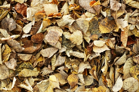 Abstract background from old, rotten, autumn leaves in a heap after cleaning photo