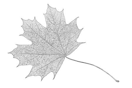 photocopy: photocopy of a maple leaf isolated on a white background closeup Stock Photo