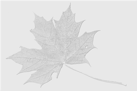 silvery light gray maple leaf isolated on a white background closeup