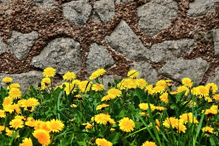 yellow flowers of young dandelions and green grass on an abstract background of a stone wall photo
