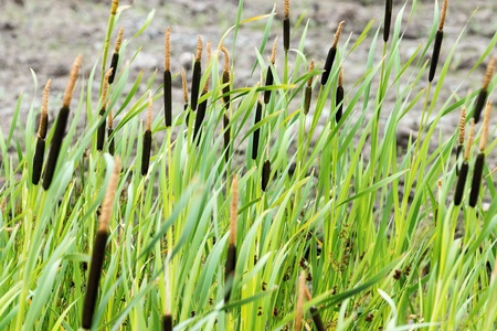bogs: blossoming bogs of a wild reed and cane closeup for a natural background