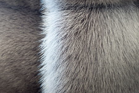 fur: fluffy texture of fur of wild animals with a strip for abstract backgrounds