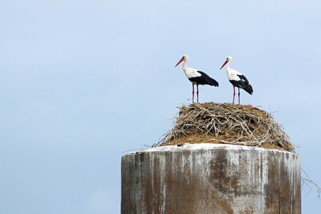 synchronously: two birds storks stand on the feet together nearby in a nest from dry branches on an old water tower and synchronously turned the heads aside