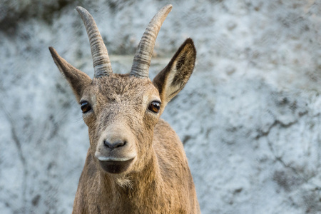 protruding eyes: the mountain goat with big horns and protruding eyes attentively considers you Stock Photo
