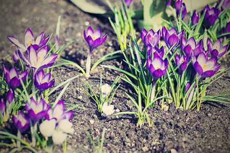 grew: the digital photo with effect of a retro of group of early flowers of violet color which grow in sunny spring day on the empty soil Stock Photo
