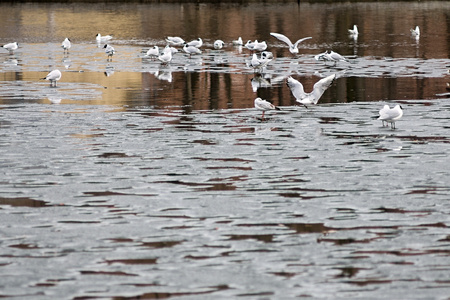 thawed: the spring nature and white seagulls stand on ice floes or float in thawed snow of the lake, with a blank space for the text