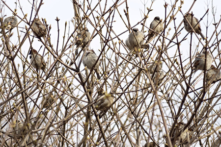thickets: sparrows big group sit having ruffled up in thickets on branches of bushes Stock Photo