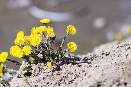 suelo arenoso: nuevas flores de un diente de le�n crecen primer plano sobre el suelo arenoso de un pozo de la construcci�n o en el desierto de arena Foto de archivo