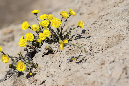 sandy soil: new yellow flowers of a dandelion grow closeup on sandy soil of a construction pit or in the sandy desert
