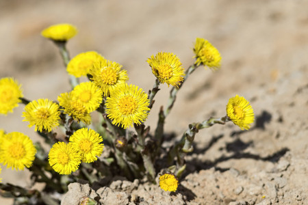 sandy soil: new yellow dandelions closeup grow a small group on sandy soil