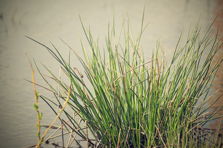 hummock: hummock with a bunch of a marsh grass on marshland water
