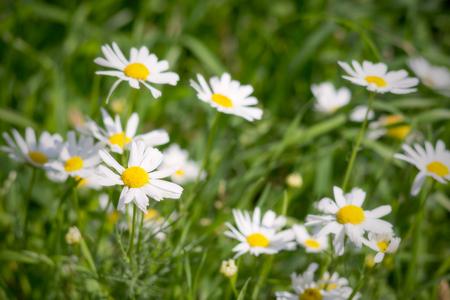 white daisies: white daisies closeup on a green meadow