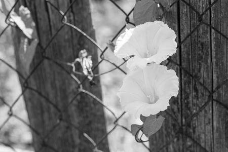 metal monochrome: two monochrome flower closeup on the rusty metal gauze and a blank space for the text