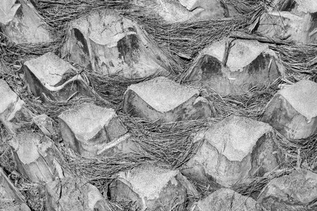 bark palm tree: abstract bumpy texture of a surface of a palm tree bark closeup for natural backgrounds and for wallpaper