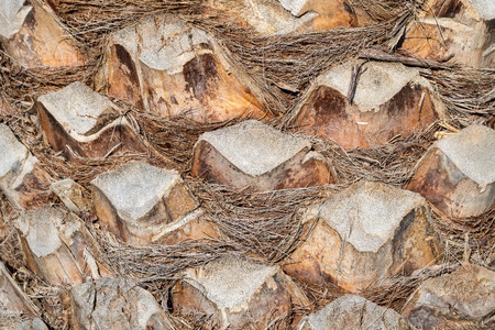 bumpy: abstract bumpy texture of a surface of a palm tree bark closeup for natural backgrounds and for wallpaper
