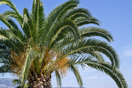 ramification: big palm tree with big green branches and yellow fruits against the blue sky